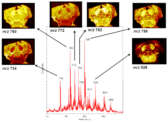 Detection and imaging of specific lipids in a mouse brain specimen